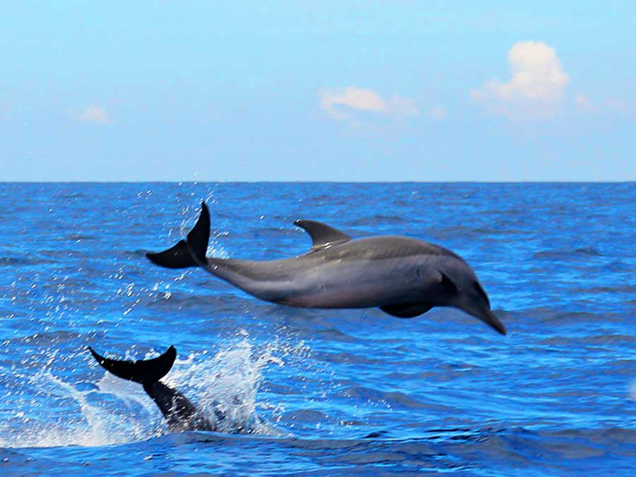 Bunaken island dolphin whale watching