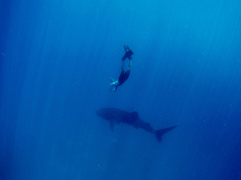 free diving with wild whale shark