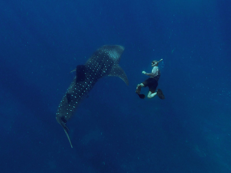 freediving with wild whale sharks