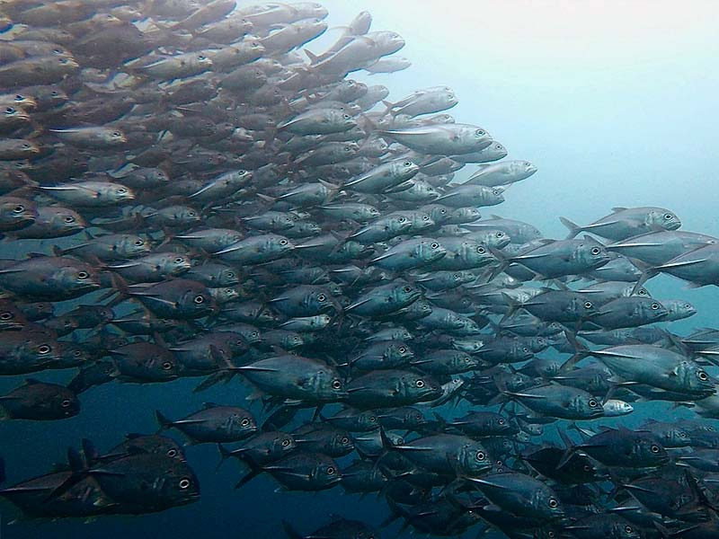 Schooling jacks in Raja Ampat