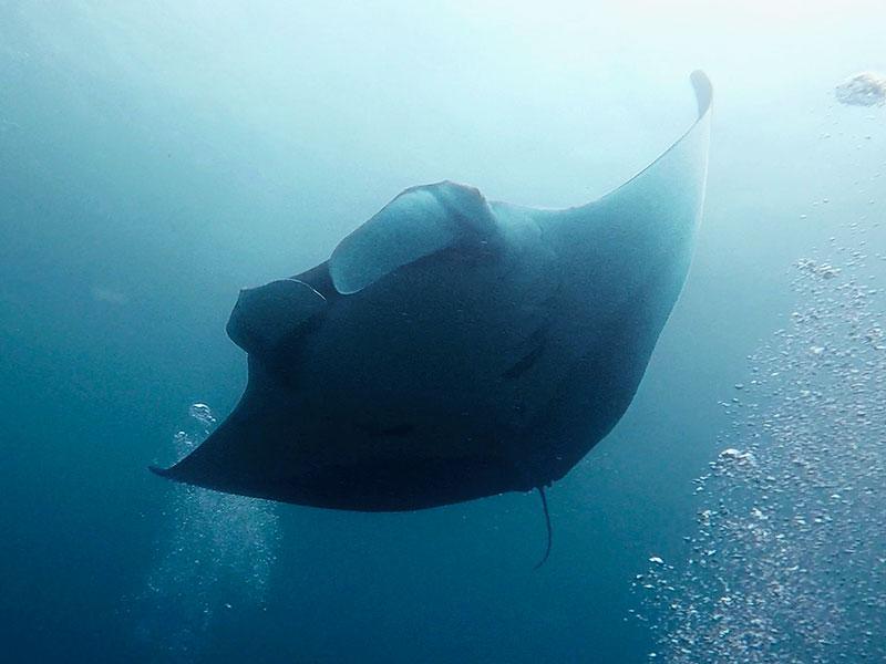 Oceanic Manta wingspan 6 metres