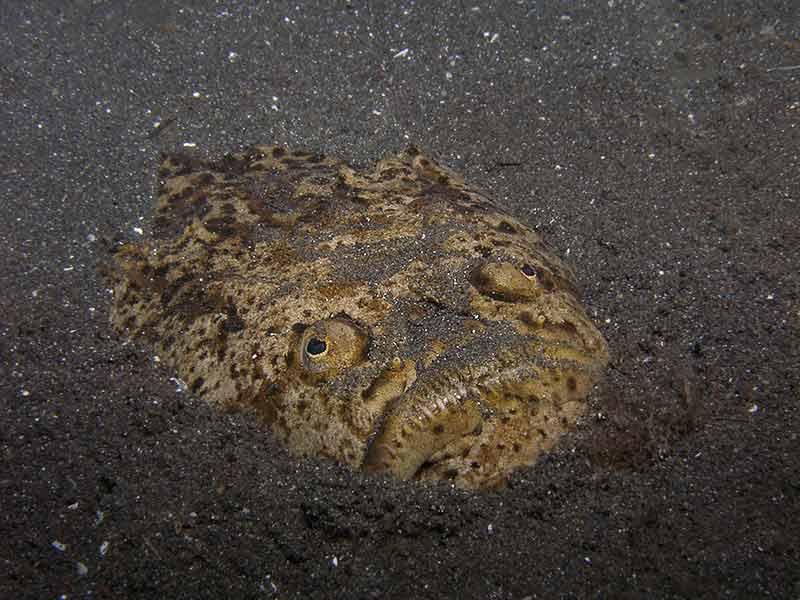 Stargazer fish muck dive padre burgos pier