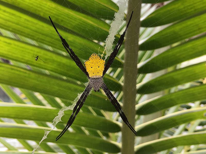 Poisonous Tropical Spider West Papua