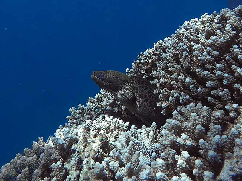 Bunaken snorkelling Moray eel