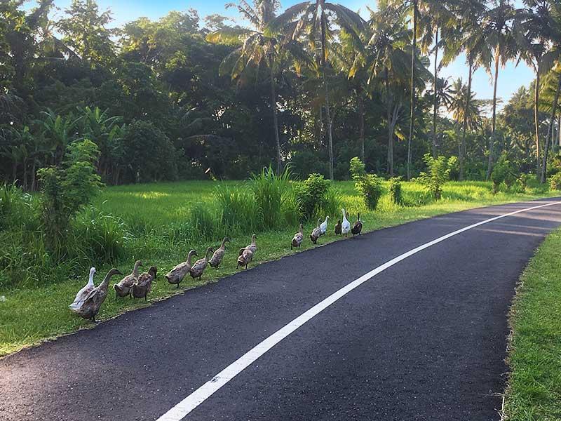 ducks in bali road